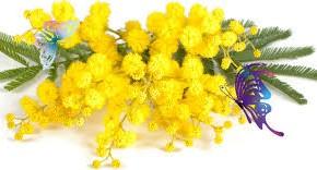Le mimose per la Festa della Donna:  fioritura anticipata e prezzi a +25% al Mefit