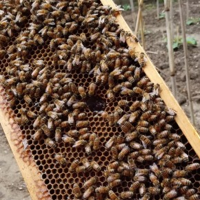 Clima bizzoso: non c'è pace tra gli alveari pistoiesi     Coldiretti. Comprare miele direttamente dai nostri apicoltori, prodotto più genuino