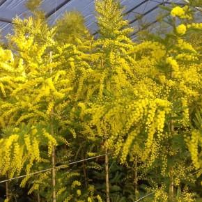 FREDDO E CALDO SI COMPENSANO…  Mimose pesciatine 'in fiore' per la Festa della Donna