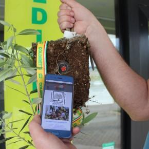 Nuova olivicoltura. EVO 2.0: il progetto col chip inserito nell'apparato radicale