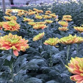 A PESCIA IL CRISANTEMO CRESCE CON AGLIO E ORTICA Innovazione: il floricoltore che riduce del 95% l'uso dei fitofarmaci, aumenta le rese, migliora la qualità e i margini   COMMEMORAZIONE DEI DEFUNTI  Coldiretti: chiedete al fioraio di fiducia i crisantemi di Pescia