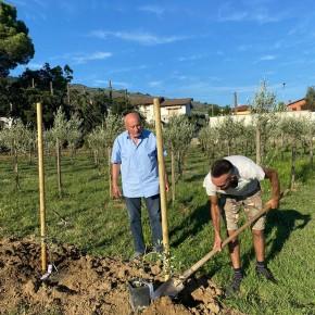 Una pianta madre d'olivo 'Leccio del Corno' virus esente nel nome di Pescia