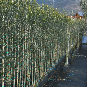Appello di Confagricoltura Pistoia nella Giornata mondiale dell'olivo  Necessario e urgente istituire il distretto del vivaismo olivicolo della Valdinievole