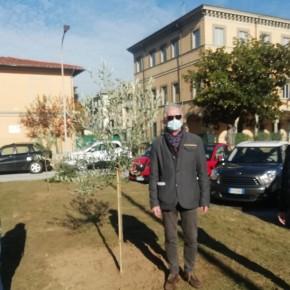 """Foresta Che Avanza regala ulivi al Comune per la Festa dell'Albero     Bellandi """"Iniziativa lodevole, gli alberi rappresentano la vita futura"""""""
