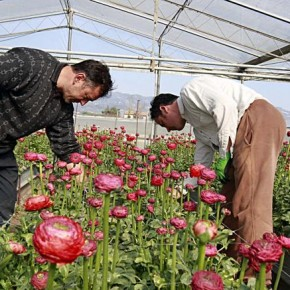 Dalla Regione Toscana in arrivo contributi per migliaia di euro per le aziende floricole di Chiesina Uzzanese.