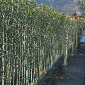 Confagricoltura replica a Coldiretti ribadendo la divergenza di vedute su come promuovere le produzioni di olivi pesciatine  Niente contro il distretto floricolo, ma non è specializzato nel vivaismo olivicolo e non è solo della Valdinievole