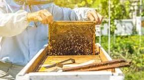A Pistoia. IL GELO COLPISCE ANCHE LA FILIERA DEL MIELE  Azzerata la produzione del miele d'acacia di bassa quota